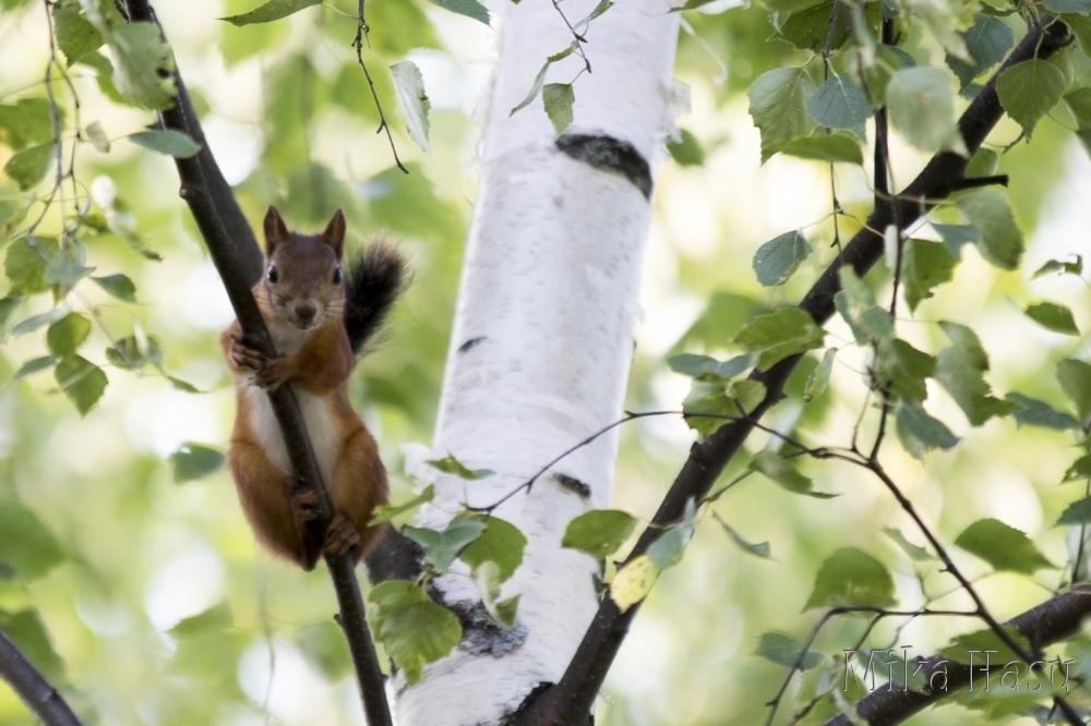 Orava puussa 1