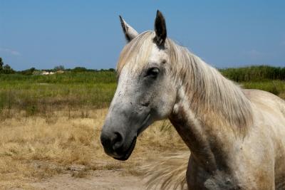Kreikkalainen hevonen