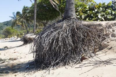 Palmun juurella