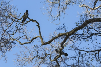 Varikset puussa
