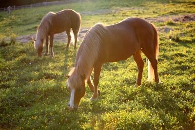 Hevoset syyslaitumella