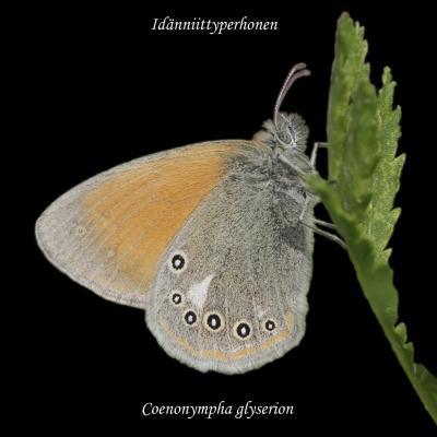 Idänniittyperhonen